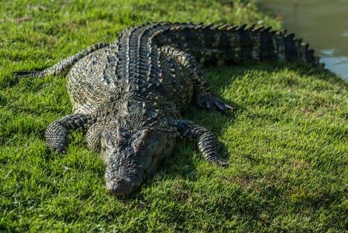 A crocodile on the grass.
