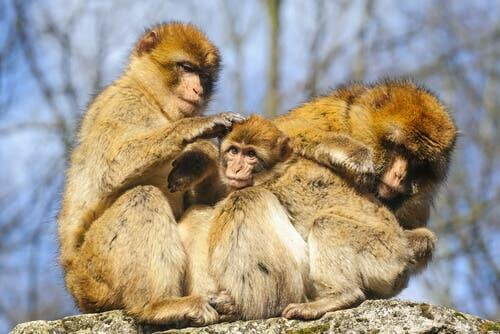 A family of Barbary macaque.