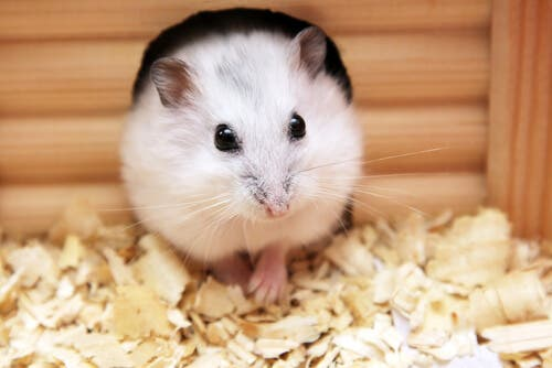 A hamster coming out of a hole.