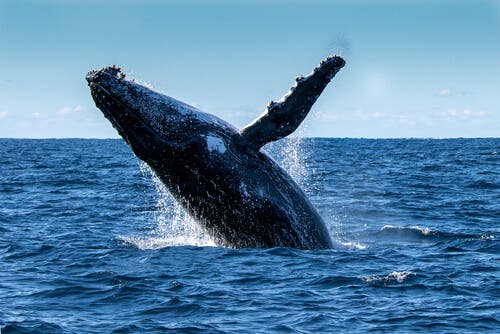 Humpback Whale Saves a Diver's Life