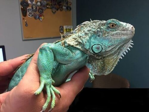 A pet iguana.