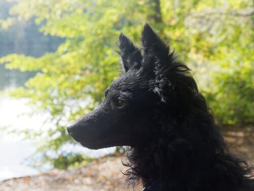 A side profile shot of a Mudi.