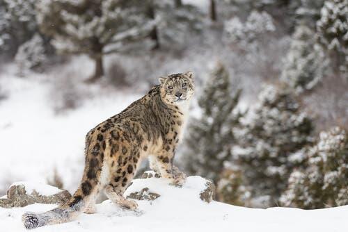 Snow Leopard - Characteristics, Behavior and Habitat