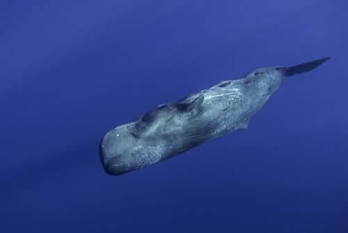 A sperm whale swimming down.