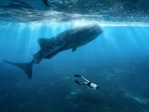 A whale and a diver.