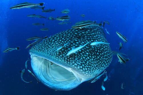 A whale shark surrounded by fish.