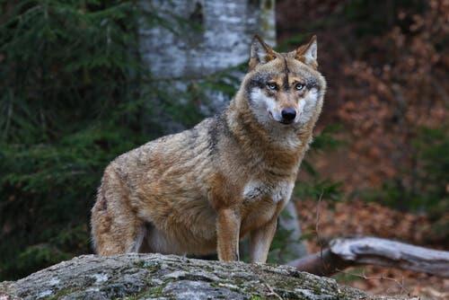 A wolf and its mammalian limbs.