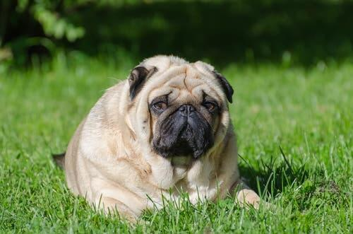 An obese dog sitting on the grass.