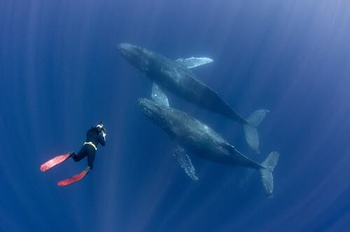 Diver with two humpback whales.
