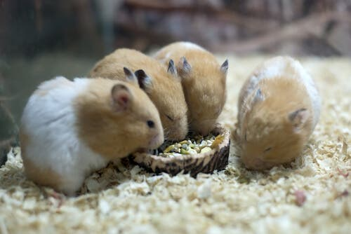 Four hamsters eating.