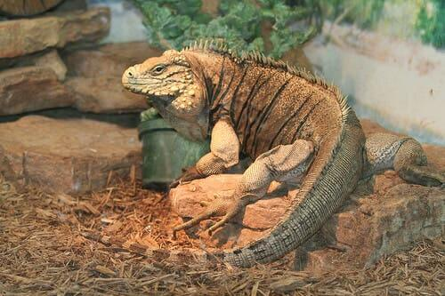 Diseases in Pet Iguanas - The Most Common Ones