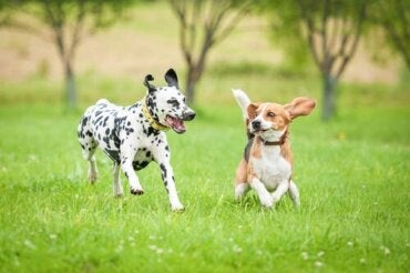 Athletic Dogs: Diet and Supplements