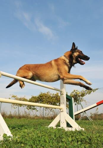 A dog performing in a competition.