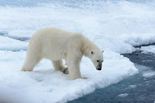 Interesting Things You Don't Know About Polar Bears