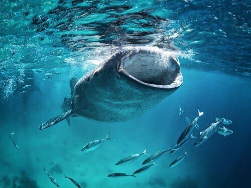 A shark eating krill.
