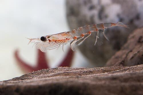 Antarctic Krill: A Tiny Organism With an Enormous Job