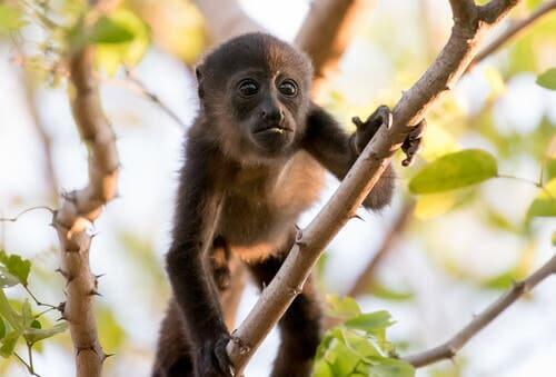 The behavior of howler monkeys.
