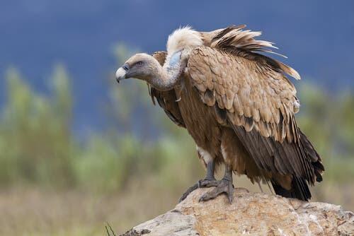 A bird of prey sitting on a rock.