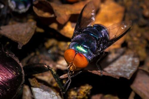A blue bottle fly.