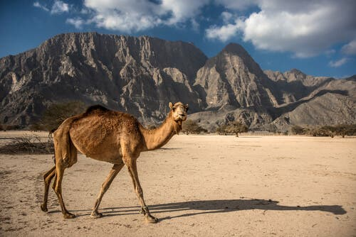 A camel walking in the desert.