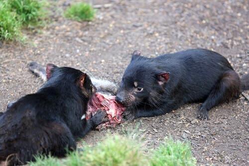 Two tasmanian devils eating carrion.