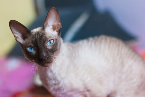 A Siamese cat looking at the camera.