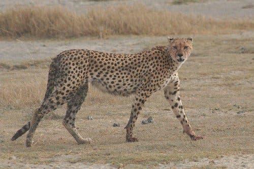 A cheetah walking in the savannah.