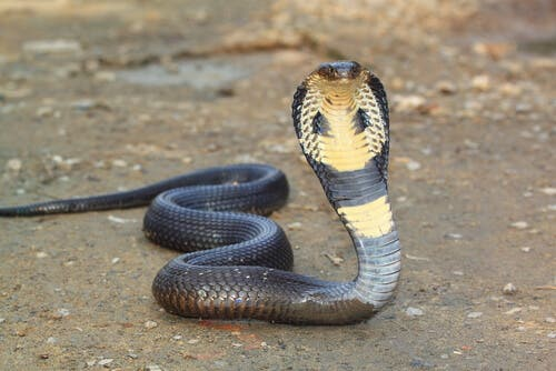 Cobras are one of the common snakes in ancient cultures.