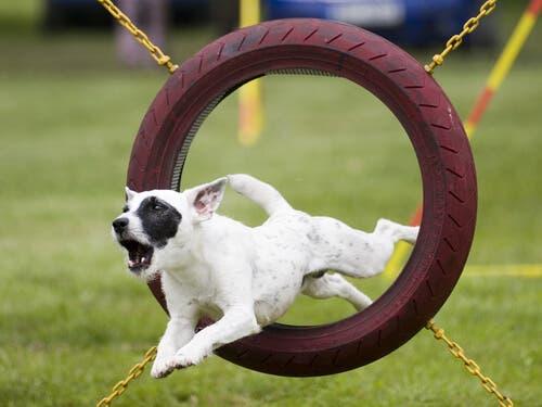 A dog jumping through a tire.