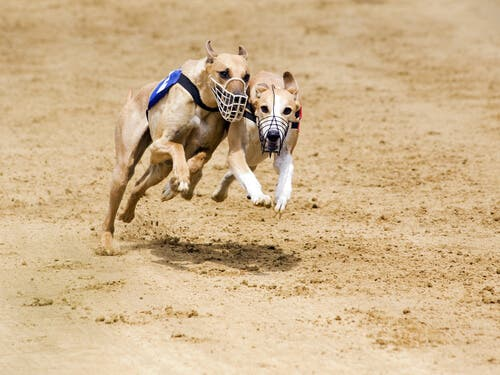 Two race dogs racing.