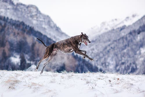A dog running.