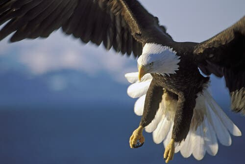 An eagle flying in the sky.