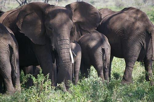 A group of elephants in the wild.