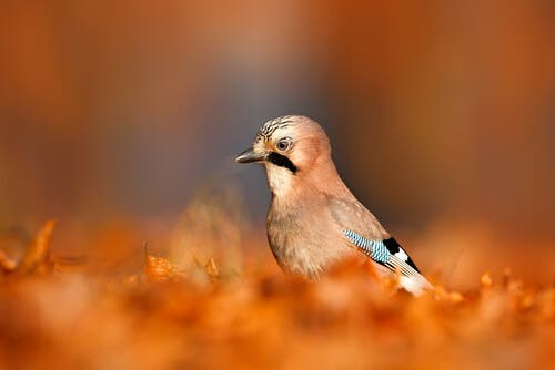 Meet the Eurasian Jay: A Forest Gardener