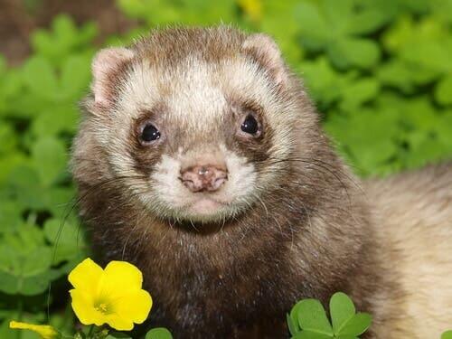 The Most Common Ferret Diseases