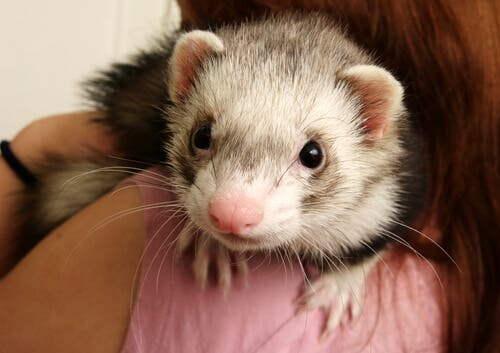 One of the common ferret diseases is ear scabies.