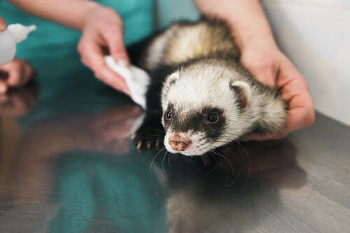 A ferret at the vet.