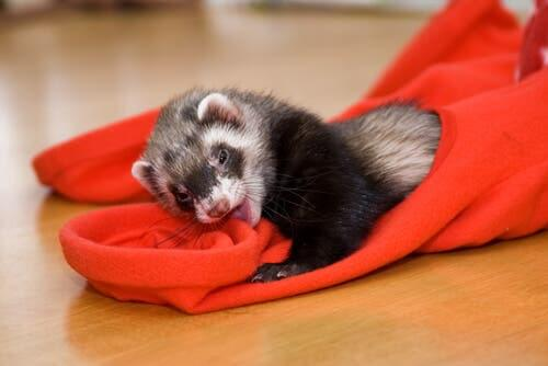 Some common ferret diseases can be fatal.