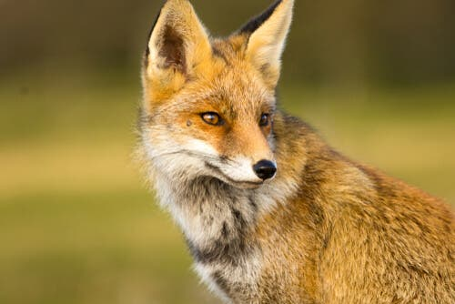 The coexistence of humans and foxes was inevitable because of how common foxes are.