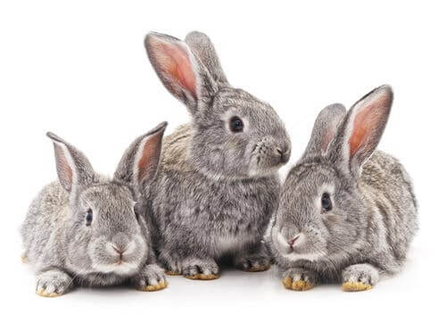 Three gray rabbits.