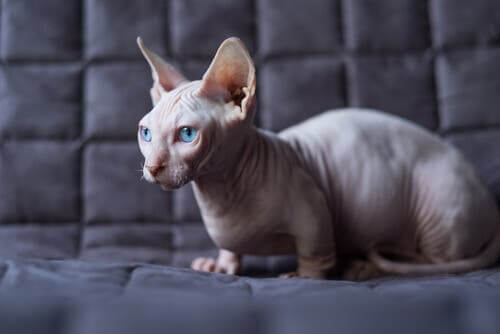 How to Care for a Hairless Cat: Tips and Recommendations