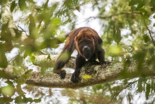 The Characteristics of Howler Monkeys