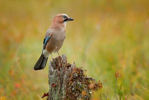 A shot of an Eurasian Jay's lateral profile.