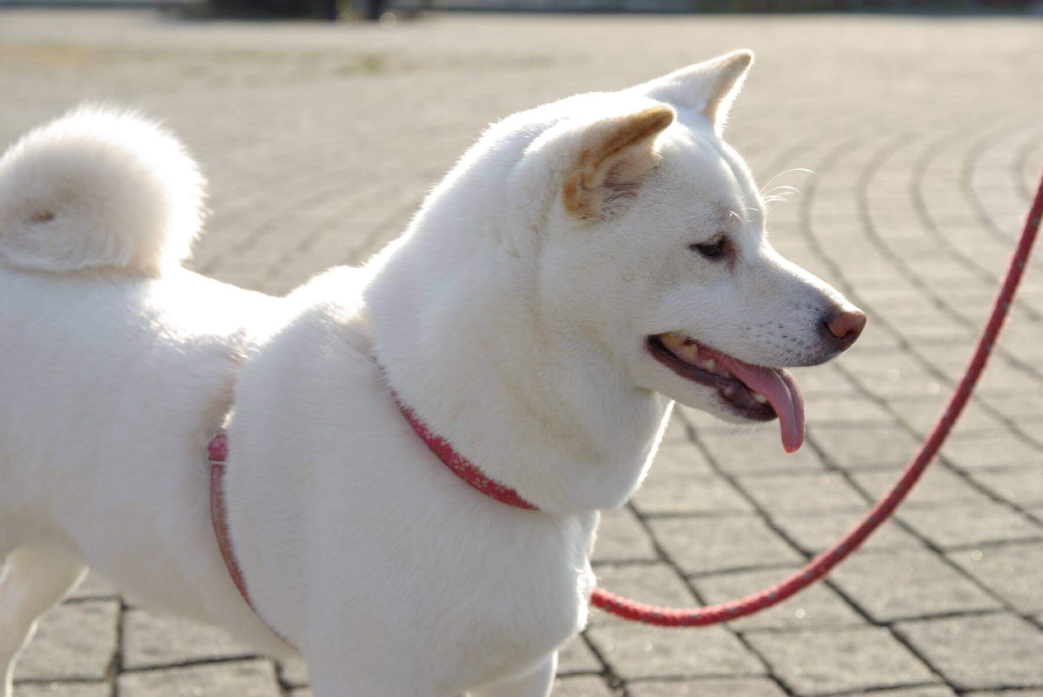 A white dog on a leash.