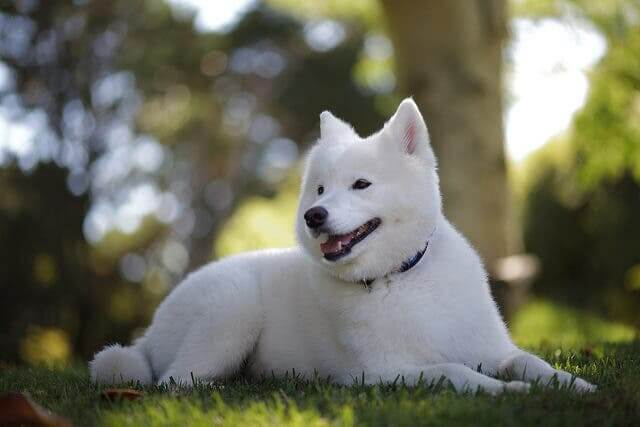 All About the Kishu Inu