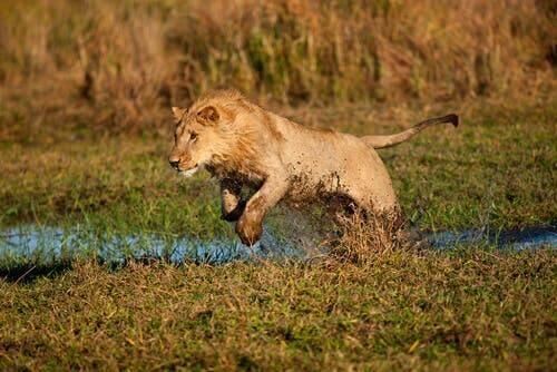 A lion jumping in mud and water.