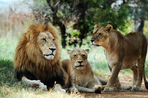A group of lions in the wild.