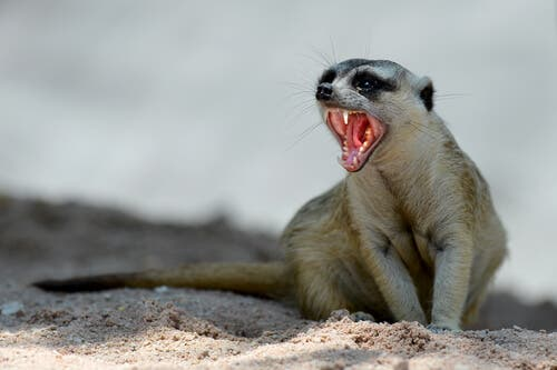 Having a meerkat as a pet can contribute to problems with invasive species.