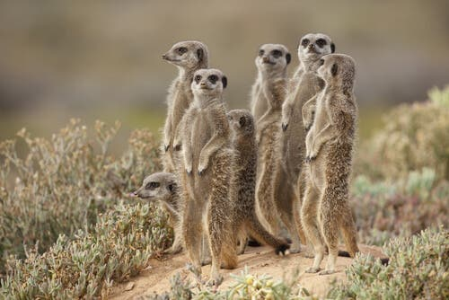 A group of meerkats standing up in the wild.
