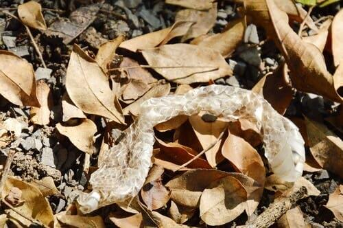 A snake skin in some leaves.